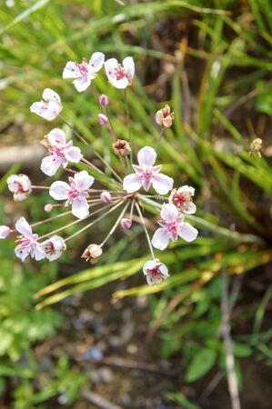 Susak umbrella Butomus umbellatus, pink flower on the pond