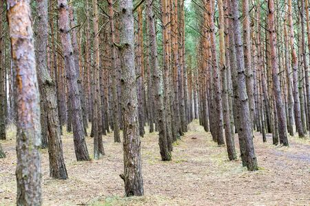 trees stand in a row in coniferous woodland, picturesque forest paths