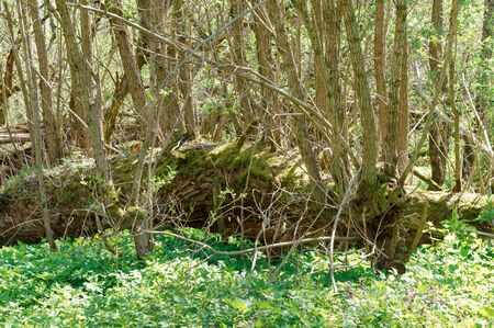tree overgrown with moss, forest thicket