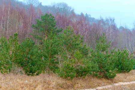 first snow in coniferous woodland, cloudy weather in the forest