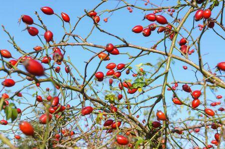 medical rosehip, oblong red berries, vitamins in wild rosehip