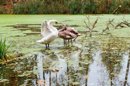 three swans on a lake in autumn, a Swan family on a forest pond