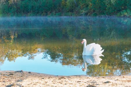 one Swan on a lake, a lone Swan on a forest pond