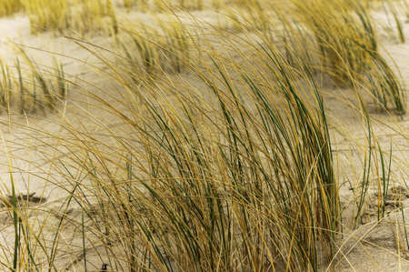 sand dunes of the coastal strip, dry grass on the sea sand