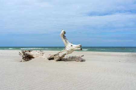 sandy beach and beautiful wooden snag, snag on the sea sand
