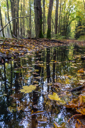 reflection of trees in puddles, fallen yellow leaves, autumn forest