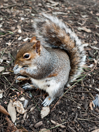 monkey nut: A small grey squirrel sitting in soil eating a monkey nut. Stock Photo