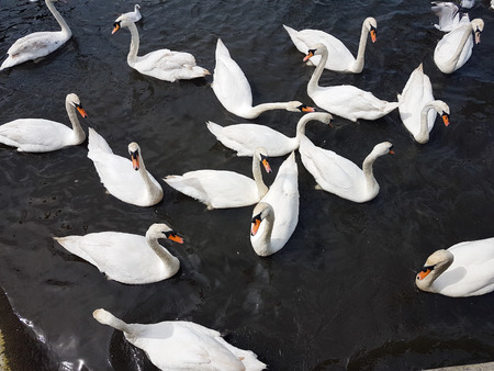 A group of swans together in water from above