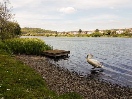 A swan exits a lake near a small pier.