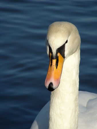 kingly: A portrait of a Swan Stock Photo