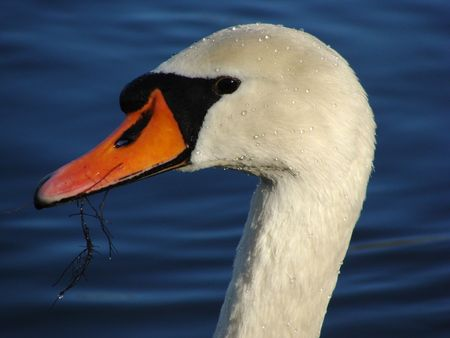 reclusion: A Swan that just raised his head out of the water