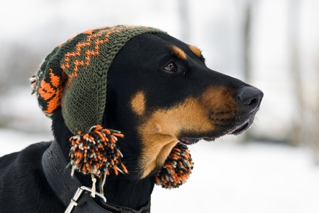 a doberman dog with a cap on his  head with a snowy background photo