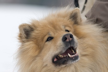 siberian samoyed: a brown eurasier dog looking up at something in a snowy background Stock Photo