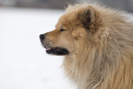 siberian samoyed: a brown eurasier dog with closed eyes looking like he had a hard day in a snowy background