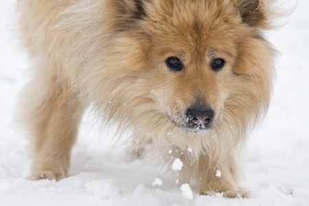 siberian samoyed: a brown eurasier dog eating snow while looking in the camera