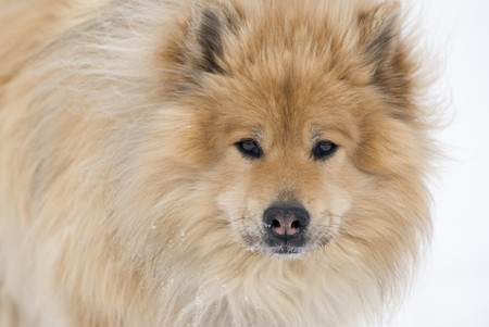 siberian samoyed: a brown eurasier dog looking right into the camera on a snowy background
