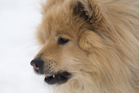 sceptic: a cheeky looking brown eurasier dog with his mouth open on a snowy background Stock Photo