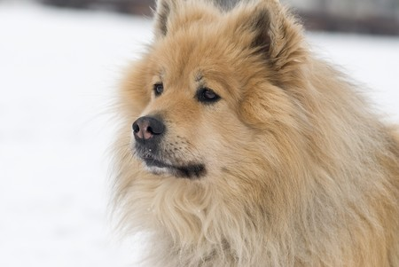 a brown eurasier dog looking worried at something distant in a snowy background photo