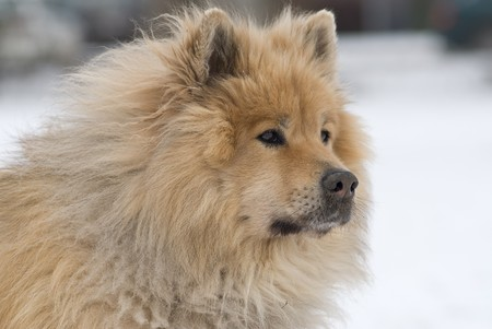 a brown eurasier dog looking mindful and worried at something distant in a snowy background photo