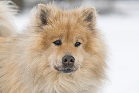 sceptic: a worried looking brown eurasier dog looking right into the camera in a snowy landscape Stock Photo