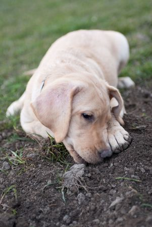 a labrador retriever puppy lying in the mud Stock Photo - 4801209