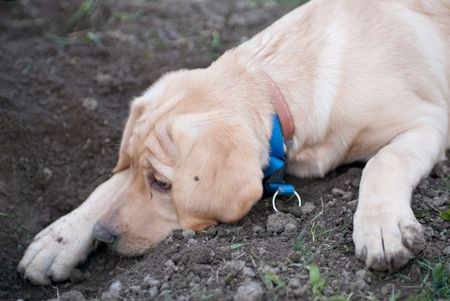 a labrador retriever puppy lying tired in the mud in front of a hole he dug before Stock Photo - 4801206