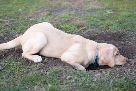 dug: a labrador retriever puppy lying tired in the mud aboce the hole he dug before