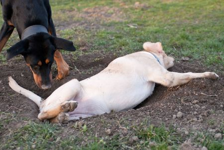 filthy: a labrador retriever puppy fallen in a hole Stock Photo