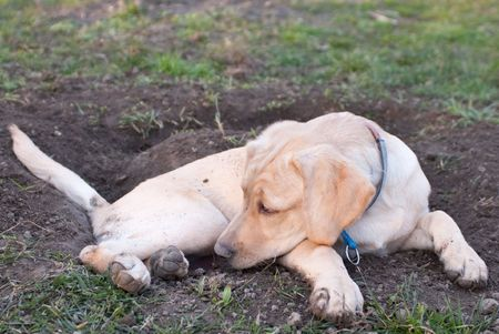 a labrador retriever puppy lying tired in the mud in front of a hole he dug before Stock Photo - 4801218