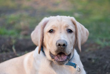 a labrador retriever puppy sitting in front of a hole looking moronic Stock Photo - 4801211