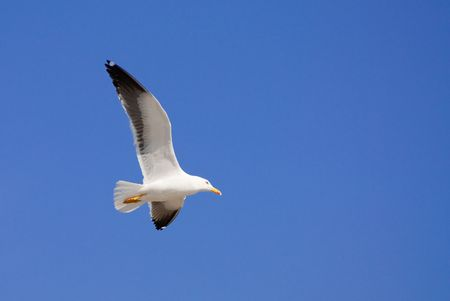 una gaviota volando en frente de un cielo azul Foto de archivo - 6660821