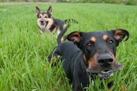 a funny looking doberman barking photo