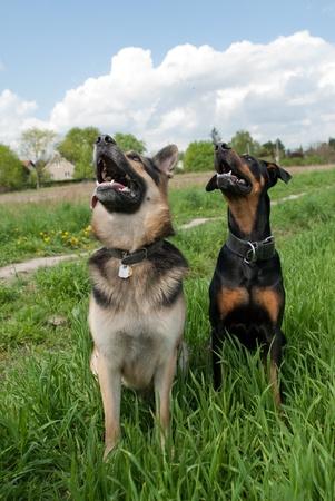 dogs sitting: dos perros sentados en el c�sped mientras entrenaba fuera