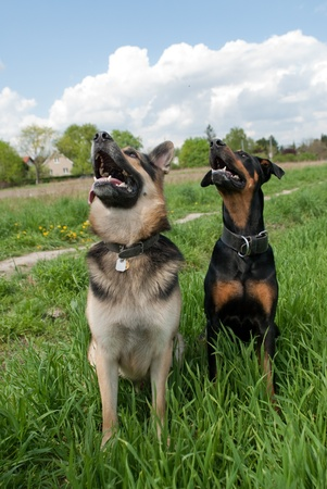 hound dog: two dogs sitting in the lawn while training outside Stock Photo