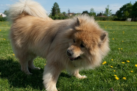 siberian samoyed: a brown eurasier dog standing on the lawn looking at something distant Stock Photo