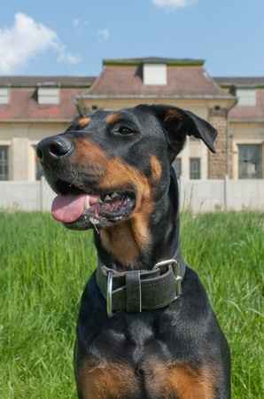 doberman: a dog sitting in front of an industrial building whil training outside