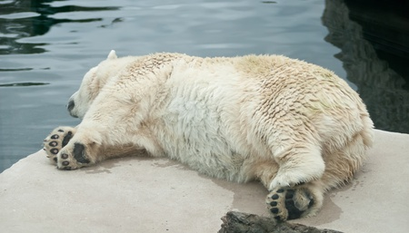 a polar bear sleeping on a rock photo