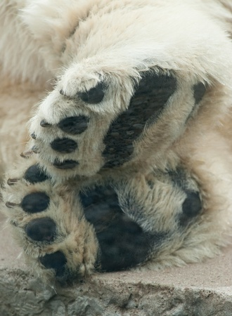 polar bear on the ice: a macro of a polar bears paws Stock Photo