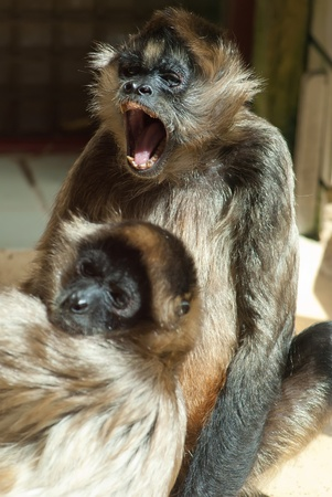 two spider monkeys playing with each other Stock Photo - 12958271