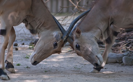 two eland antelopes fight for social domination Stock Photo - 12957910