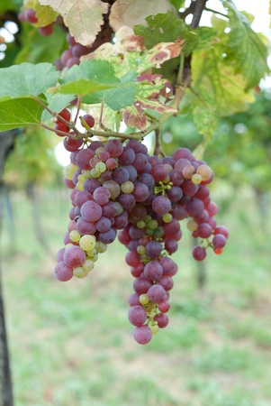 grapes growing in a vineyard in austria photo