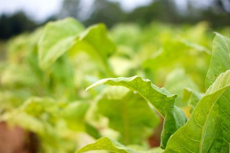 tobacco plants: Close up of tobacco plants