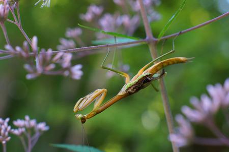 unsuspecting: Praying Mantis on purple flower