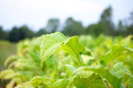 tobacco plants: Tobacco plants with soft focus background