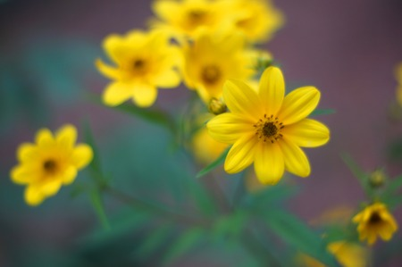 Yellow wild flowers with soft focus background
