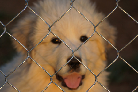 great pyrenees: Great Pyrenees Puppy Gazing at Sunset             Stock Photo