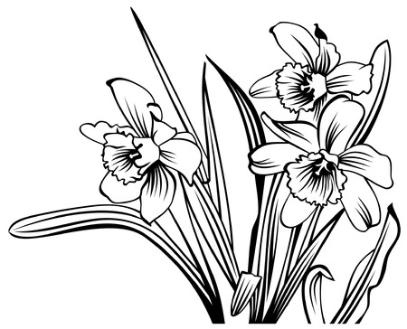 Black and white contour  image of narcissus growing in garden