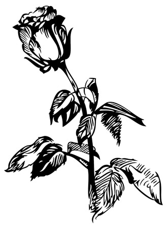 roses petals: hand drawn rose