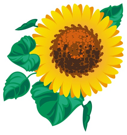 oil crops: Sunflower on a white background Vector clip art. Illustration