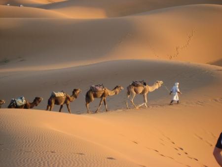 berber: Berber man leading camels through the Sahara Desert